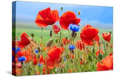 Field of Wild Poppies and Other Flowers-Maria Uspenskaya-Stretched Canvas Print