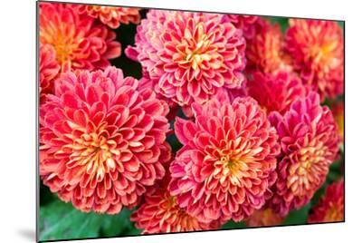 Beautiful of Red Garden Dahlia Flower-Suwat wongkham-Mounted Photographic Print