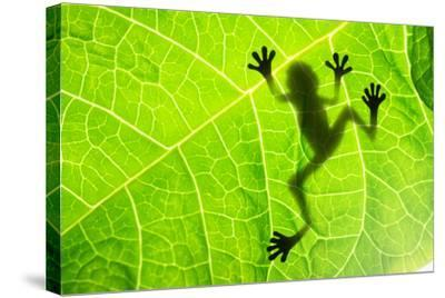 Frog Shadow on the Leaf-Patryk Kosmider-Stretched Canvas Print