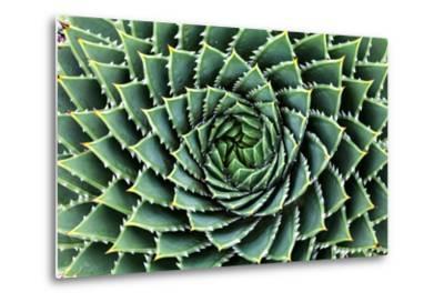 Spiral Aloe-Aloe Polyphylla- Gil K-Metal Print