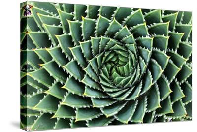 Spiral Aloe-Aloe Polyphylla- Gil K-Stretched Canvas Print