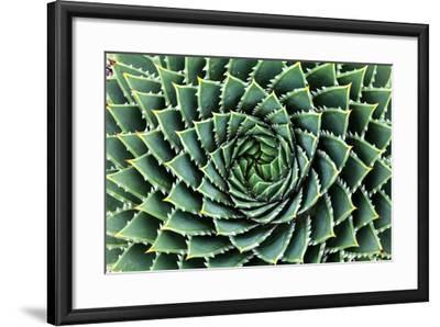 Spiral Aloe-Aloe Polyphylla- Gil K-Framed Photographic Print