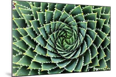 Spiral Aloe-Aloe Polyphylla- Gil K-Mounted Photographic Print