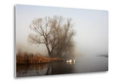 Geese in Fog. Flock of Birds Swims near Shore of River under Trees. Beautiful Spring Landscape in M- arvitalyaa-Metal Print