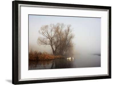 Geese in Fog. Flock of Birds Swims near Shore of River under Trees. Beautiful Spring Landscape in M- arvitalyaa-Framed Photographic Print