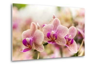 Streaked Orchid Flowers. Beautiful Orchid Flowers.- pojvistaimage-Metal Print
