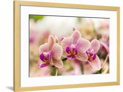 Streaked Orchid Flowers. Beautiful Orchid Flowers.- pojvistaimage-Framed Photographic Print