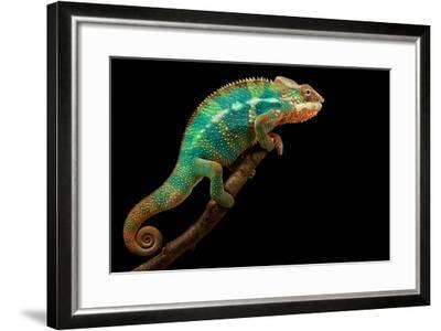 Chameleon-Mark Bridger-Framed Photographic Print
