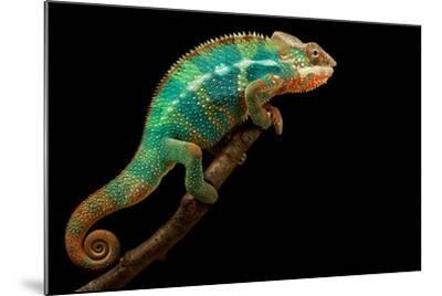 Chameleon-Mark Bridger-Mounted Photographic Print