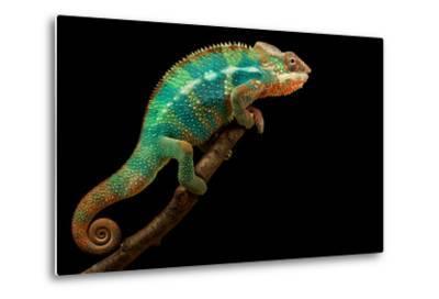 Chameleon-Mark Bridger-Metal Print