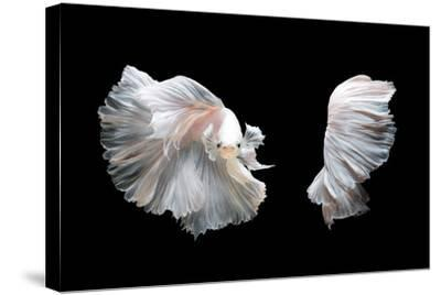 White Platinum Betta Fish or Siamese Fighting Fish in Movement Isolated on Black Background-Nuamfolio-Stretched Canvas Print
