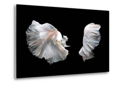White Platinum Betta Fish or Siamese Fighting Fish in Movement Isolated on Black Background-Nuamfolio-Metal Print