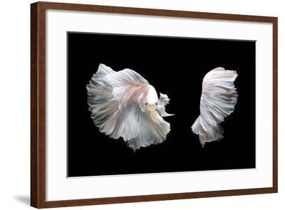 White Platinum Betta Fish or Siamese Fighting Fish in Movement Isolated on Black Background-Nuamfolio-Framed Photographic Print
