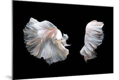 White Platinum Betta Fish or Siamese Fighting Fish in Movement Isolated on Black Background-Nuamfolio-Mounted Photographic Print