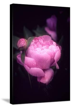 Pink Peony-Philippe Sainte-Laudy-Stretched Canvas Print