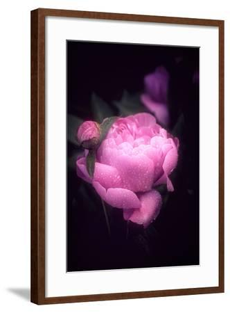 Pink Peony-Philippe Sainte-Laudy-Framed Photographic Print