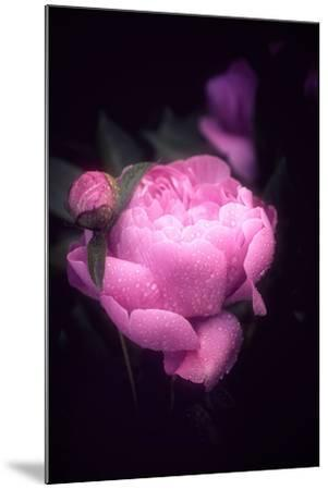 Pink Peony-Philippe Sainte-Laudy-Mounted Photographic Print