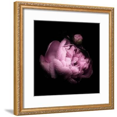 Peony In The Dark-Philippe Sainte-Laudy-Framed Photographic Print