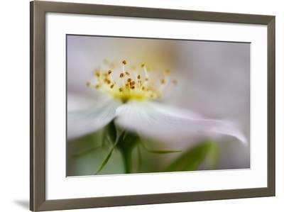 The Wild Rose-Heidi Westum-Framed Photographic Print