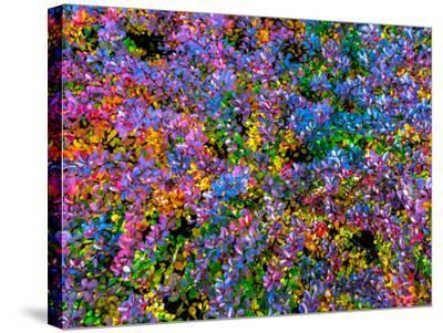 Barberry-Steven Maxx-Stretched Canvas Print