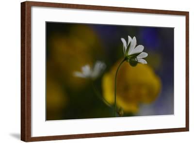 Stellaria Graminea-Heidi Westum-Framed Photographic Print