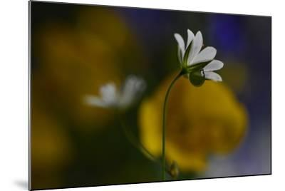 Stellaria Graminea-Heidi Westum-Mounted Photographic Print