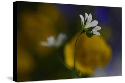 Stellaria Graminea-Heidi Westum-Stretched Canvas Print