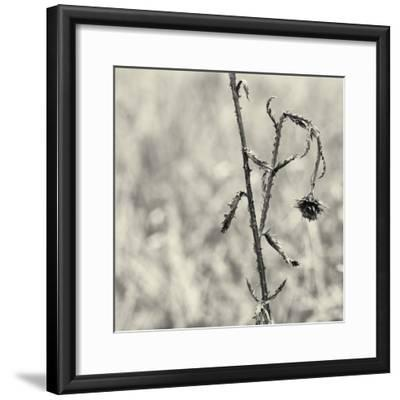Thistle Study-Geoffrey Ansel Agrons-Framed Photographic Print