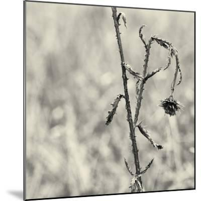 Thistle Study-Geoffrey Ansel Agrons-Mounted Photographic Print