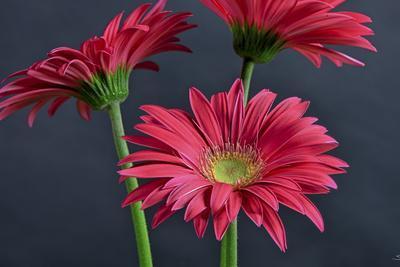 Gerbera Daisy HDR-Gordon Semmens-Framed Photographic Print