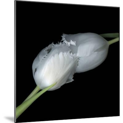 A Kiss To Build A Dream On - Tulips-Magda Indigo-Mounted Photographic Print