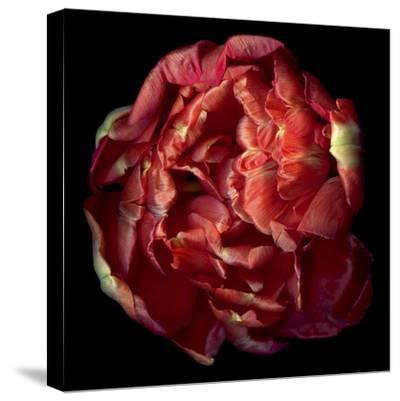 Double Red Tulip-Magda Indigo-Stretched Canvas Print