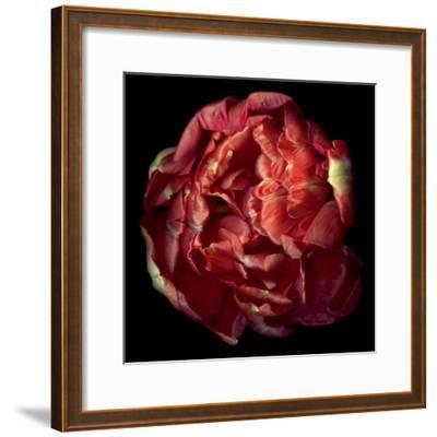 Double Red Tulip-Magda Indigo-Framed Photographic Print