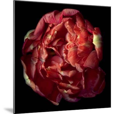 Double Red Tulip-Magda Indigo-Mounted Photographic Print
