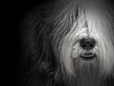 Sheepdog-Lori Hutchison-Framed Photographic Print