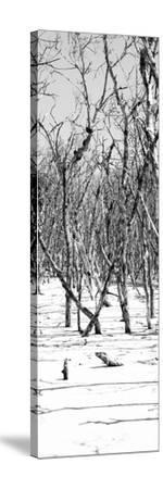 Cuba Fuerte Collection Panoramic BW - White Forest-Philippe Hugonnard-Stretched Canvas Print