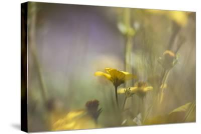 Rainbows and Buttercups-Valda Bailey-Stretched Canvas Print