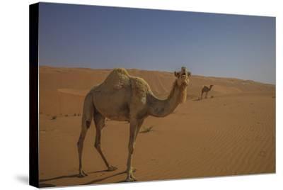 Camel Looking At Camera-Matias Jason-Stretched Canvas Print