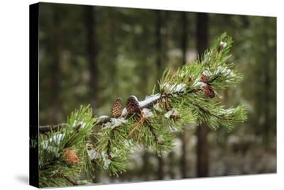 First Snowfall YNP-Galloimages Online-Stretched Canvas Print