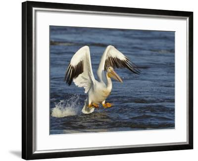 Pelican GIO-Galloimages Online-Framed Photographic Print