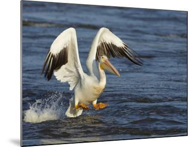 Pelican GIO-Galloimages Online-Mounted Photographic Print