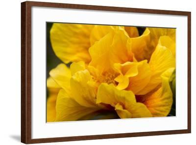 Hibiscus Folds-Chris Moyer-Framed Photographic Print