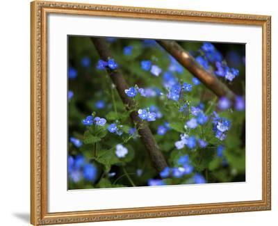 Blue Little Flowers--Framed Photographic Print