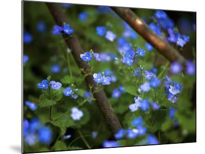 Blue Little Flowers--Mounted Photographic Print