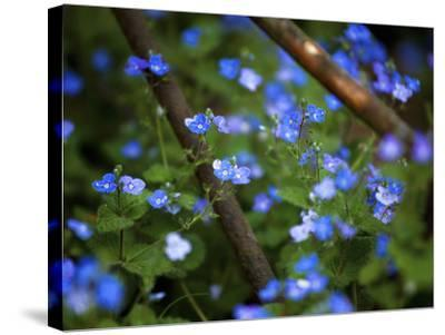 Blue Little Flowers--Stretched Canvas Print