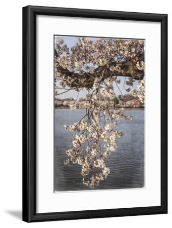 Cherry Blossoms 4-Lillis Werder-Framed Premium Giclee Print