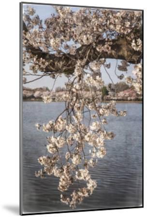 Cherry Blossoms 4-Lillis Werder-Mounted Premium Giclee Print