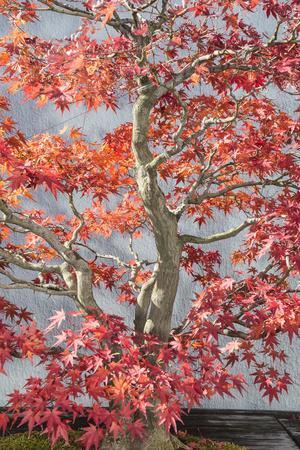 Red Bonsai Tree National Arboretum-Lillis Werder-Framed Premium Photographic Print