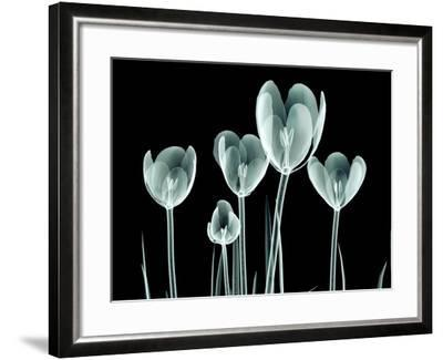 Xray Image of a Flower Isolated on Black , the Crocus- posteriori-Framed Art Print