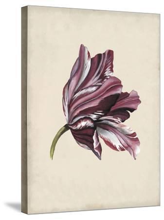 Antique Tulip Study III-Naomi McCavitt-Stretched Canvas Print